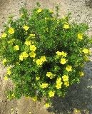 Gold Star Potentilla